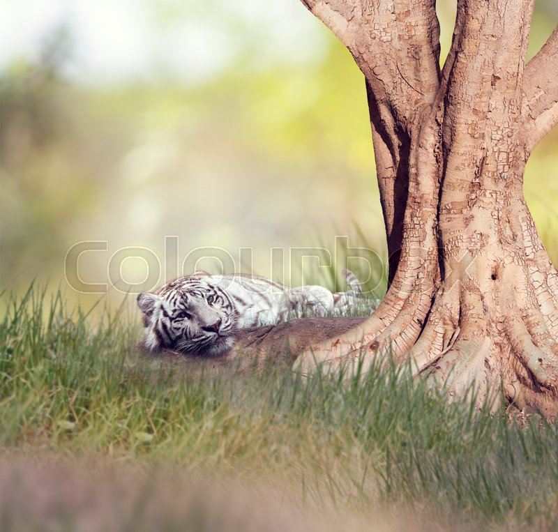 Stock image of 'White tiger resting under a big tree'