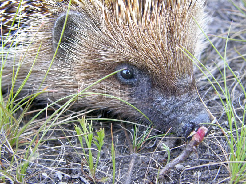 Stock image of 'A wild hedgehog on the ground. Very beautiful image.'