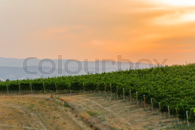 Stock image of 'Green italian countryside with a path in the vineyard at sunset'