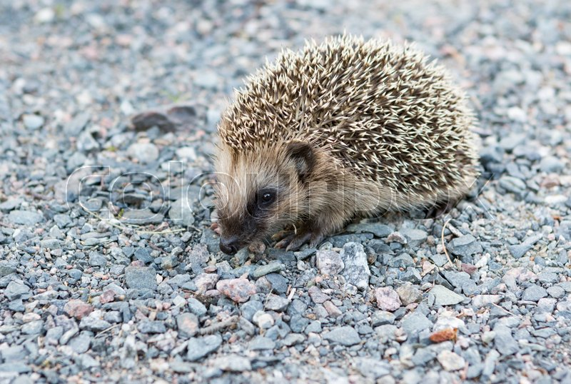 Stock image of 'Baby hedgehog in garden'