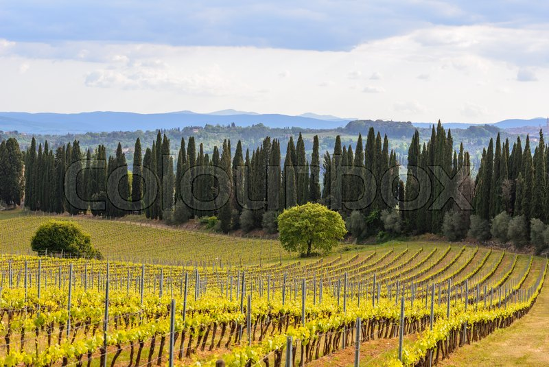 Stock image of 'Tuscany countryside in spring with cypress trees and a vineyard'