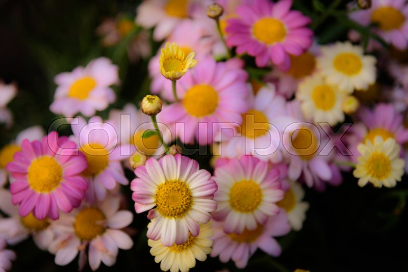 Stock image of 'Close up of colorful daises'