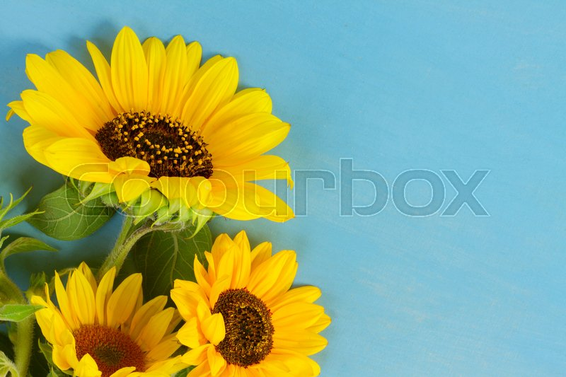 Stock image of 'Fresh Sunflowers on blue wooden background with copy space'
