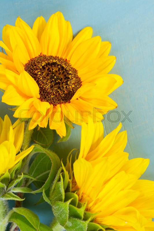 Stock image of 'Fresh Sunflowers on bright blue wooden table close up'