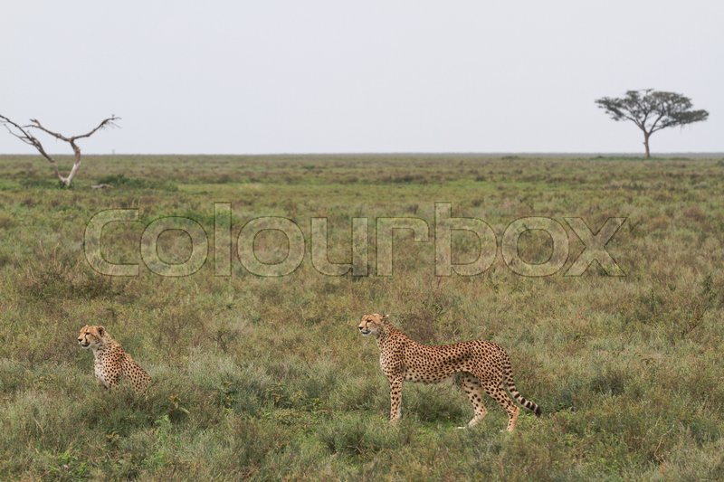 Stock image of 'Guepards photographed in Serengeti National Park during a Safari in Ndutu Area - Ngorongoro Reserve'