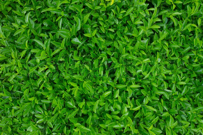 Stock image of 'Natural green leaf background/natural green background'