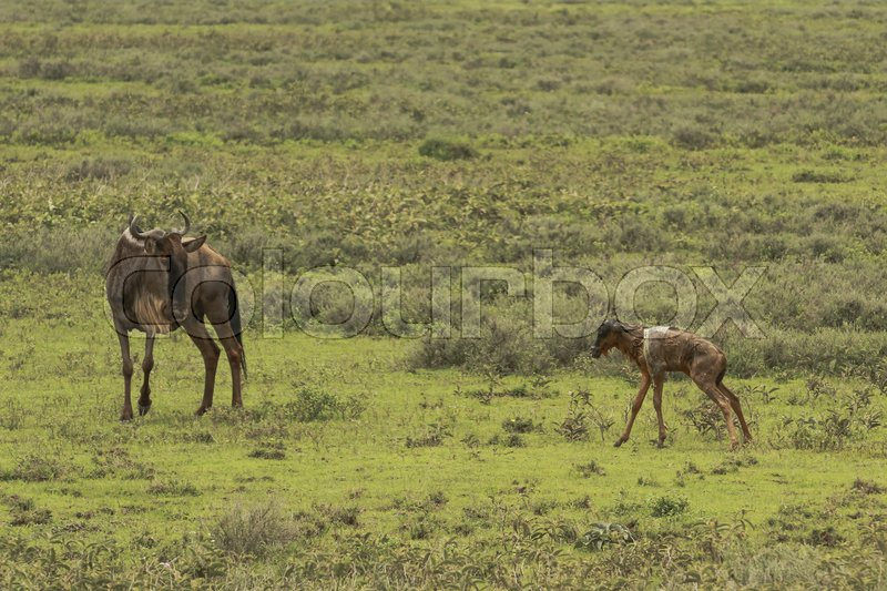 Stock image of 'Wildebeest giving birth in Serengeti during the Great Migration'