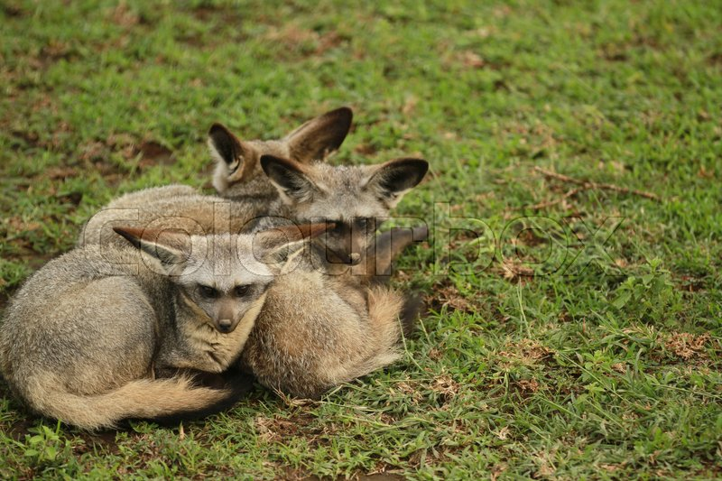 Stock image of 'Bat-eared Fox in Serengeti'