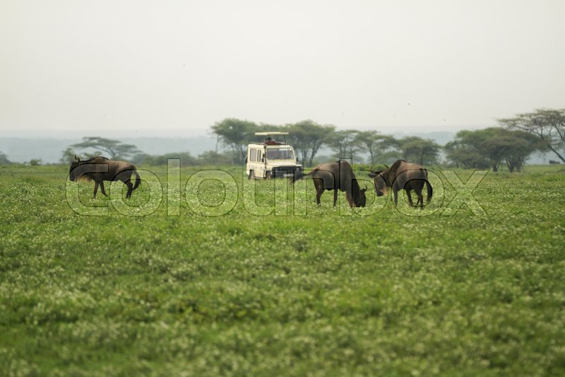 Stock image of 'Safari in Serengeti'