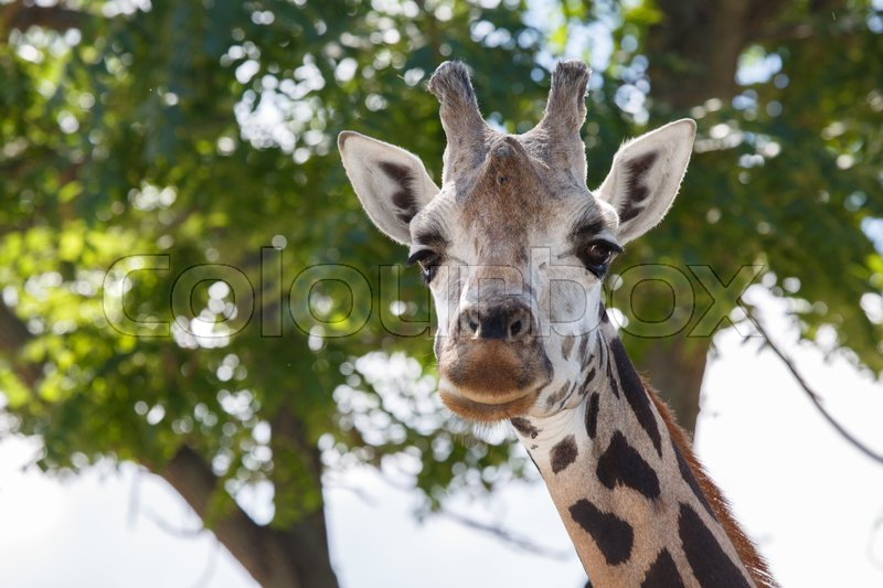 Stock image of 'Head shot of a giraffe with a nice blurry background in summer '