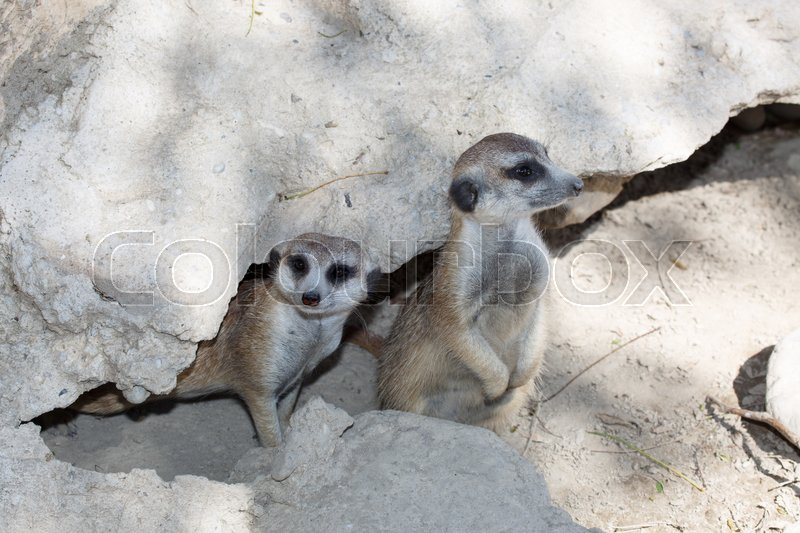 Stock image of 'Two meerkats on guard near the stone '