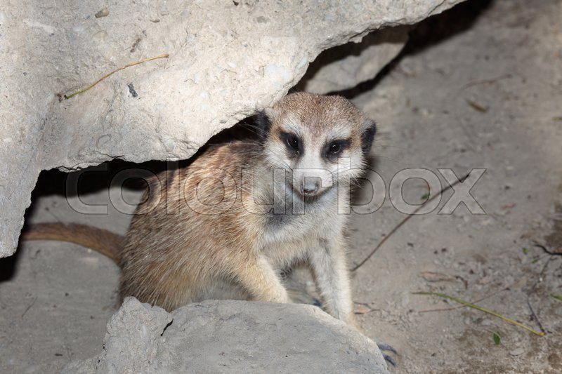 Stock image of 'lonely meerkat standing on the stone looking into the distance '