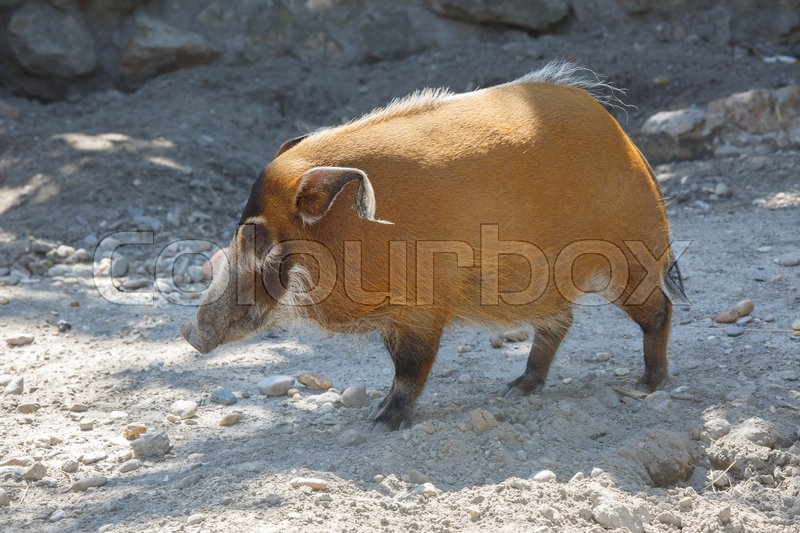 Stock image of 'The red river hog Potamochoerus porcus , originated from the African rainforests '