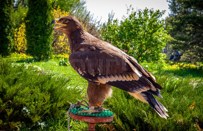 Stock image of 'The eagle sitting in front of the house'
