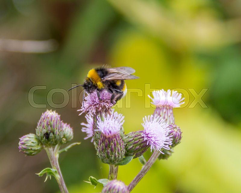 Stock image of 'Bumblebee on thistle flower in natural green ambiance'