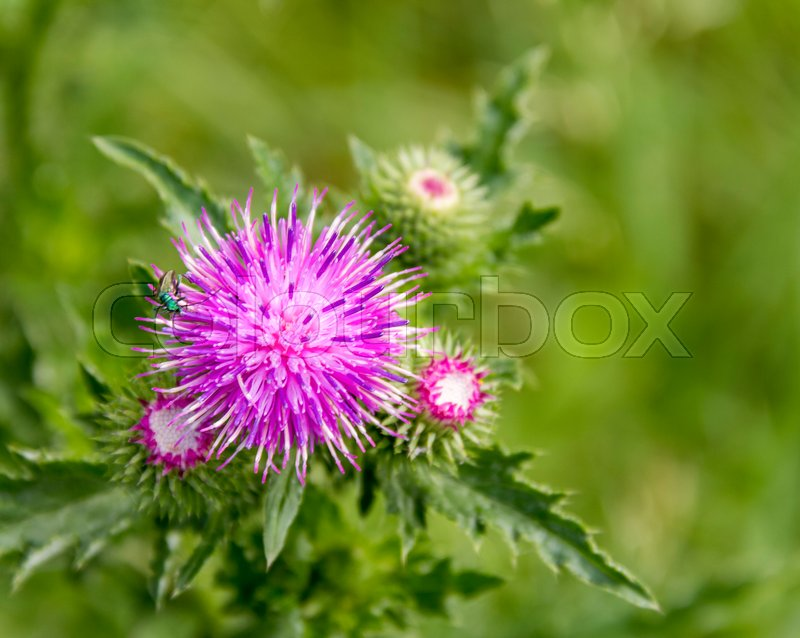 Stock image of 'violet thistle flower closeup in green ambiance'