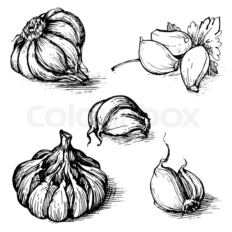 Stock image of ' hand drawn set of garlic with parsley. Herbs and spices sketch illustration isolated on white background.'