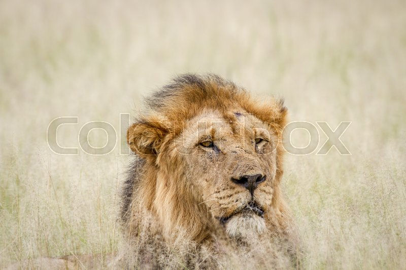 Stock image of 'Close up of a big male Lion in the grass in the Central Kalahari, Botswana.'