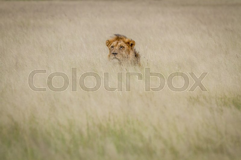 Stock image of 'Head of a male Lion sticking out of the grass in the Central Kalahari, Botswana.'