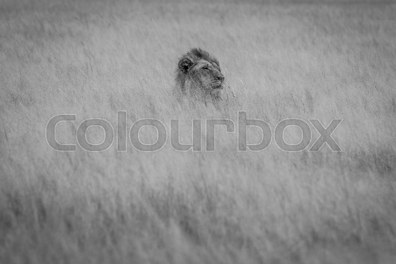 Stock image of 'Head of a male Lion sticking out of the grass in black and white in the Central Kalahari, Botswana.'