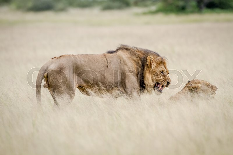 Stock image of 'Lion mating couple in the high grass in the Central Kalahari, Botswana.'