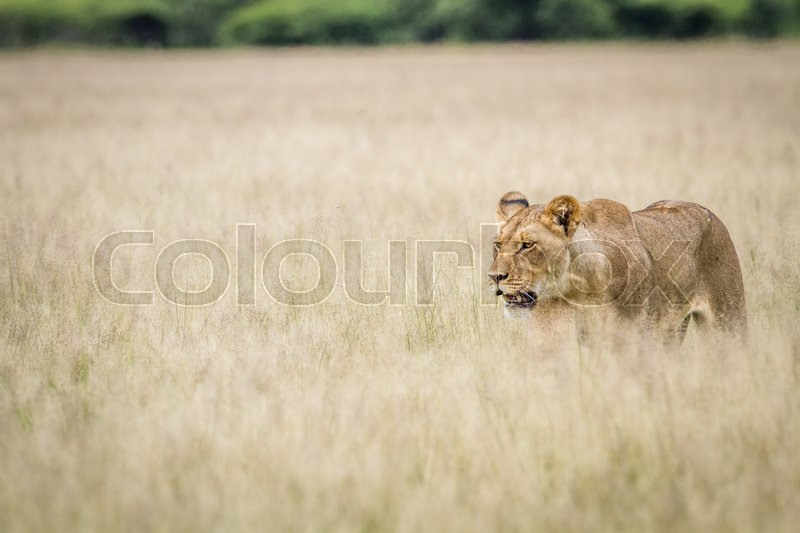 Stock image of 'Lion walking in the high grass in the Central Kalahari, Botswana.'