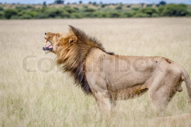Stock image of 'Big male Lion doing a Flehmen grimace in the Central Kalahari, Botswana.'
