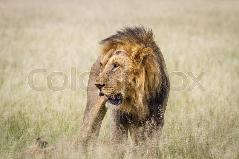 Stock image of 'Big male Lion standing in the high grass in the Central Kalahari, Botswana.'
