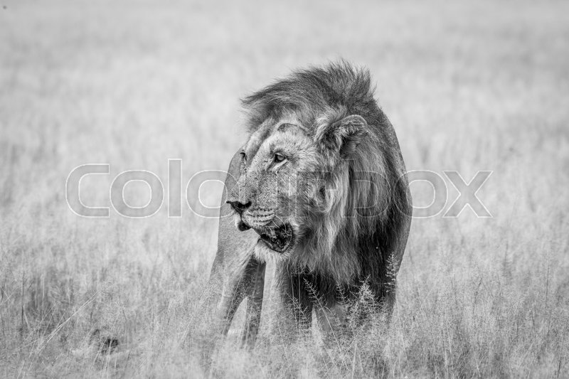 Stock image of 'Big male Lion standing in the high grass in black and white in the Central Kalahari, Botswana.'