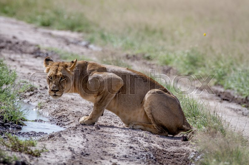 Stock image of 'Lion sitting down and starring at the camera in the Central Kalahari, Botswana.'