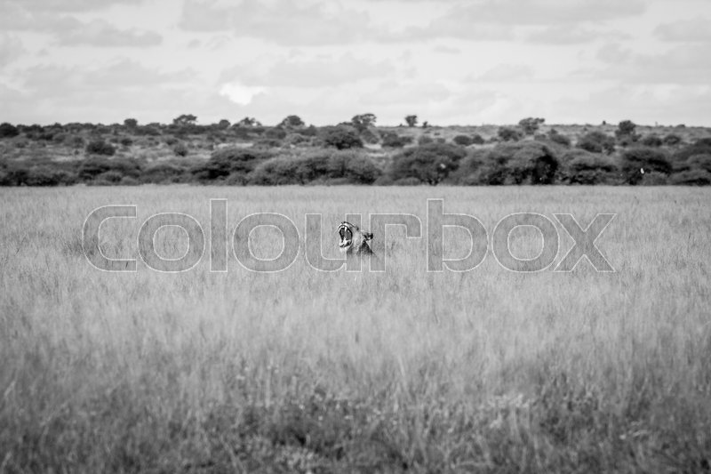 Stock image of 'Yawning Lion sticking out of the grass in black and white in the Central Kalahari, Botswana.'