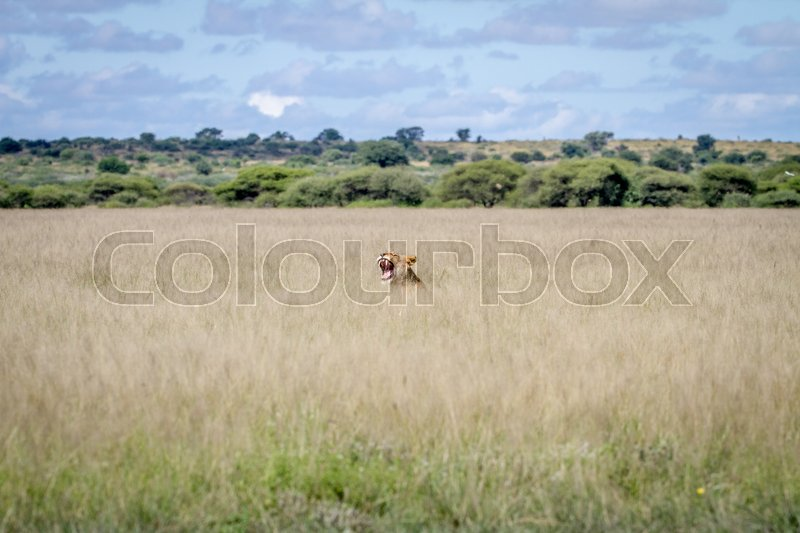 Stock image of 'Yawning Lion sticking out of the grass in the Central Kalahari, Botswana.'