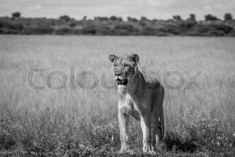 Stock image of 'Lion standing in the high grass in black and white in the Central Kalahari, Botswana.'