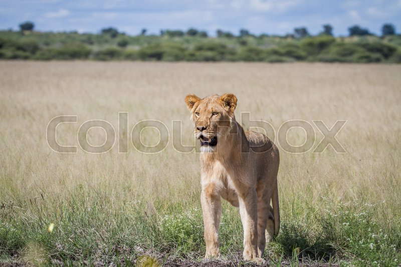 Stock image of 'Lion standing in the high grass in the Central Kalahari, Botswana.'