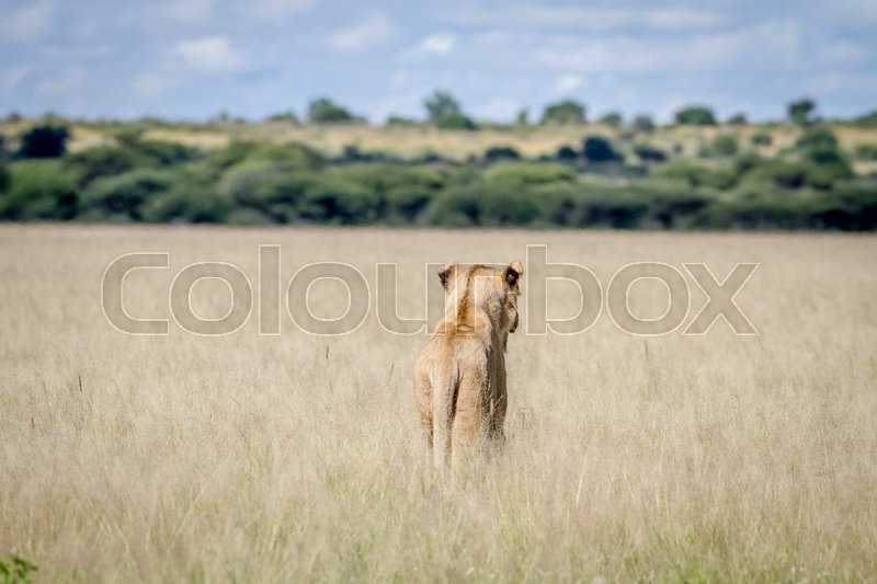 Stock image of 'Lion standing in the high grass from behind in the Central Kalahari, Botswana.'