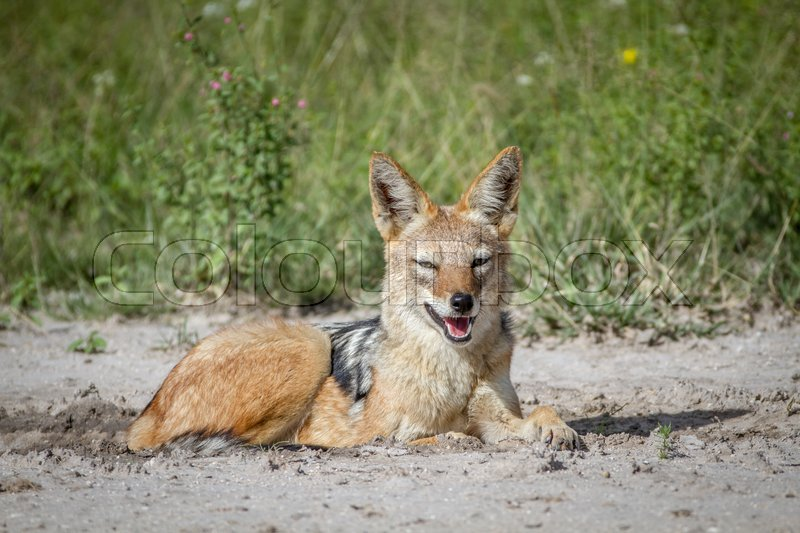 Stock image of 'Black-backed jackal laying in the sand in the Central Kalahari, Botswana.'