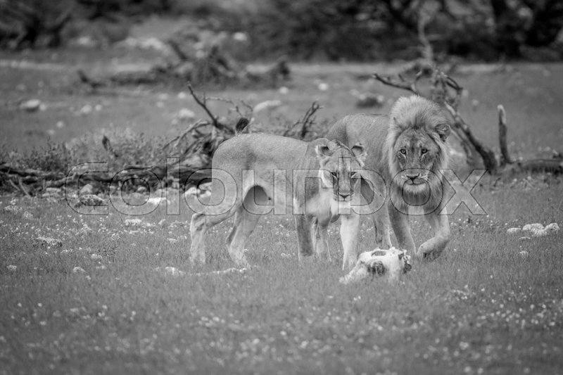 Stock image of 'Mating couple of Lions in the grass in black and white in the Etosha National Park, Namibia.'