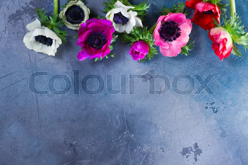 Stock image of 'Fresh colorful Anemones blooming flowers flat lay border with copy spaceon gray stone background'