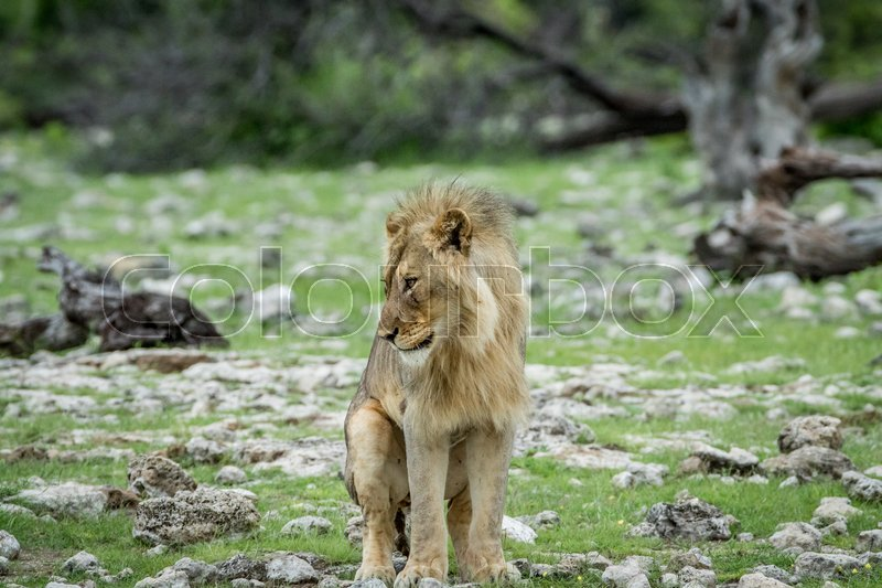 Stock image of 'Young male Lion doing his business in the Etosha National Park, Namibia.'