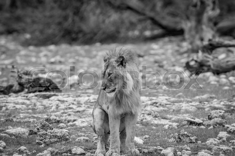 Stock image of 'Young male Lion doing his business in black and white in the Etosha National Park, Namibia.'