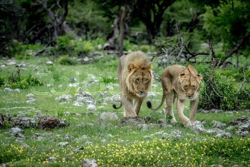 Stock image of 'Mating couple of Lions in the grass in the Etosha National Park, Namibia.'