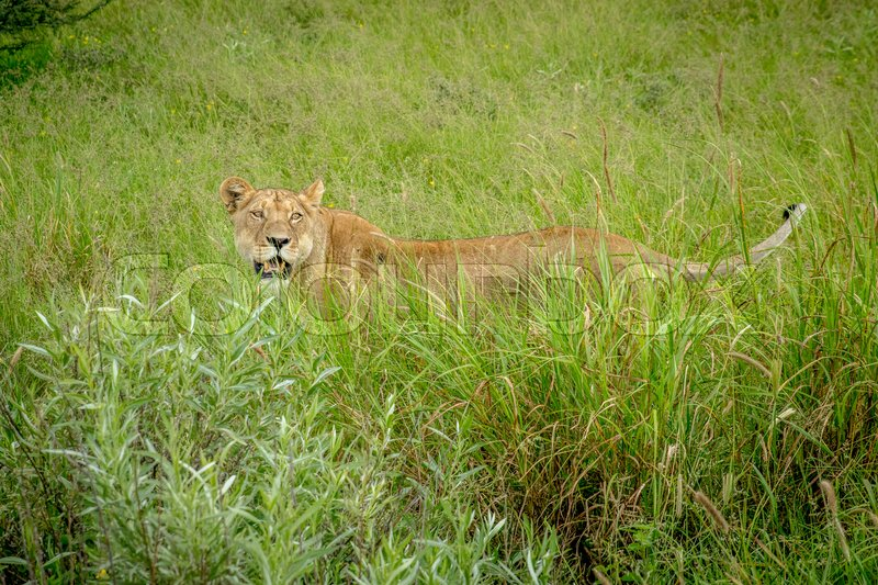 Stock image of 'Lioness standing in the high grass in the Central Kalahari, Botswana.'
