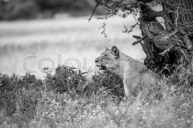 Stock image of 'Side profile of a Lioness in the high grass in black and white in the Central Kalahari, Botswana.'