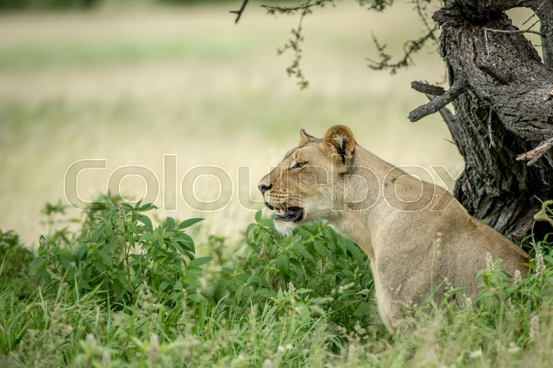 Stock image of 'Side profile of a Lioness in the high grass in the Central Kalahari, Botswana.'