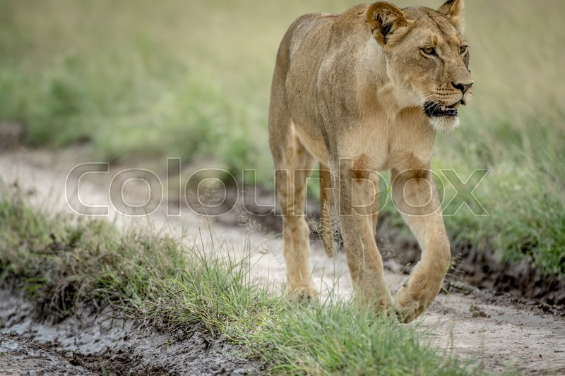 Stock image of 'Lion walking in the sand in the Central Kalahari, Botswana.'