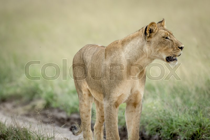 Stock image of 'Side profile of Lion in the Central Kalahari, Botswana.'