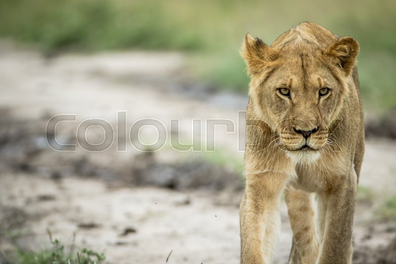 Stock image of 'Lion walking towards the camera in the Central Kalahari, Botswana.'