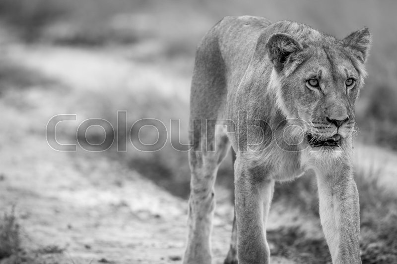 Stock image of 'Lion walking towards the camera in black and white in the Central Kalahari, Botswana.'