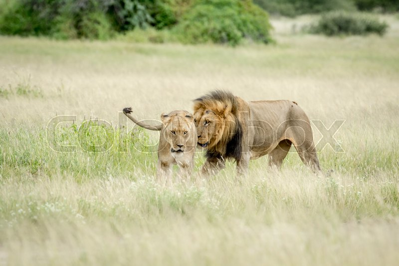 Stock image of 'Lion mating couple in the grass in the Central Kalahari, Botswana.'