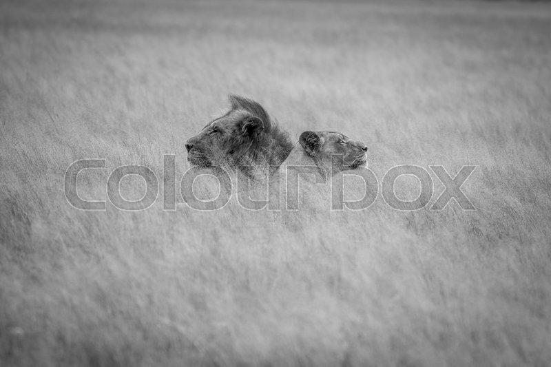 Stock image of 'Lion mating couple laying in the high grass in black and white in the Central Kalahari, Botswana.'